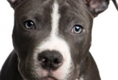 Care Tips for Your Pitbull