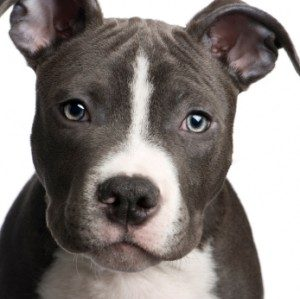 pitbull-puppy-closeup